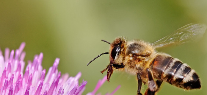 Honeybee_landing_on_milkthistle02-696x319
